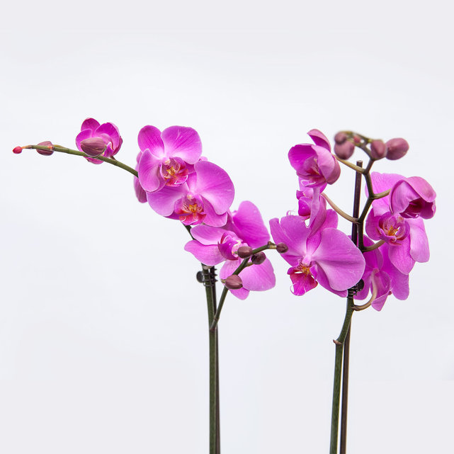 Orchid9-98180's Avatar
